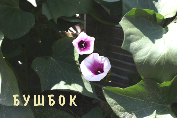 bushbok3