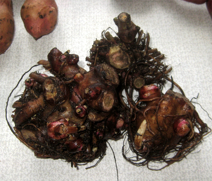 якон (Smallanthus sonchifolius)